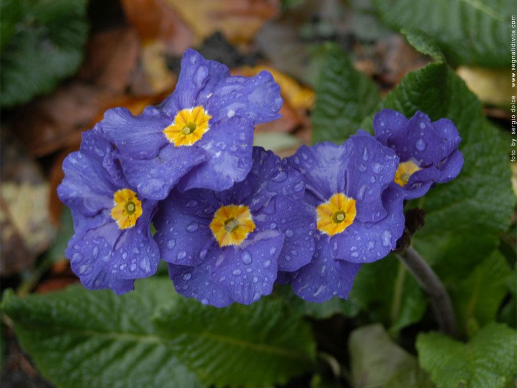 Desktop fiori blu for Immagini per desktop fiori